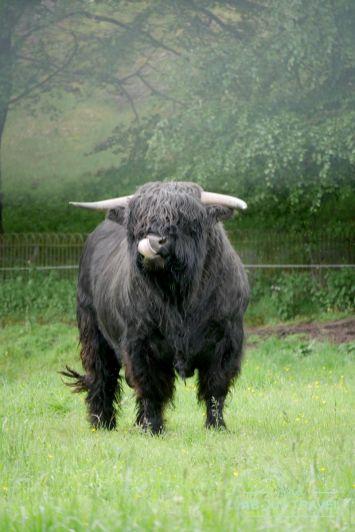 royal-lochnagar-highland-cow-01