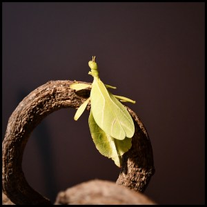 leaf insect1