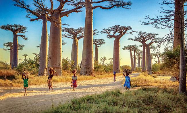 """""""Bulevardul Baobabilor"""" în Madagascar"""