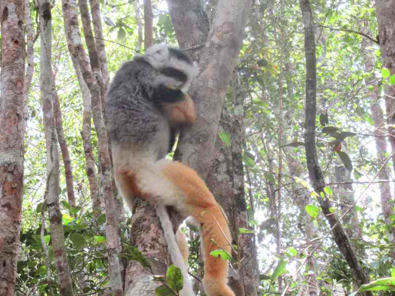 A shy Diademed Sifaka in a tree