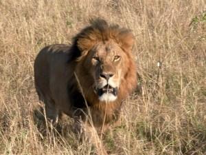 Lion qui approche
