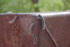 ブライスキャニオンの毛虫