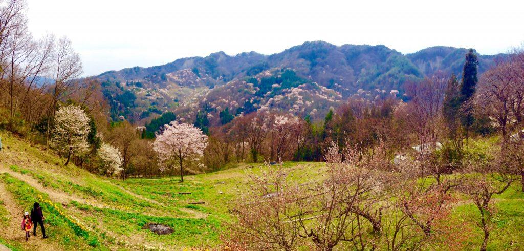 池田町陸郷の山桜