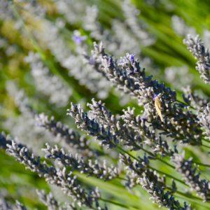 Sonoma Winery Lavender