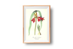 Phycelle brillante, Phycella, French, Le Maout botanical print