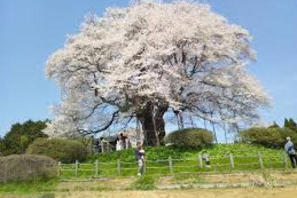 岡山醍醐桜