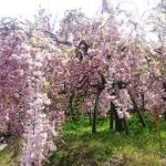 広島造幣局桜2019「花のまわり道」アクセスと駐車場案内