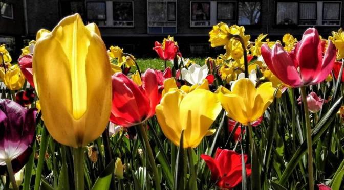 Molens en Tulpen