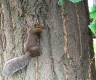 squirrel in Evanston