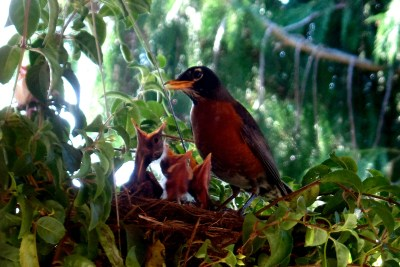 Mama Robin and Babies