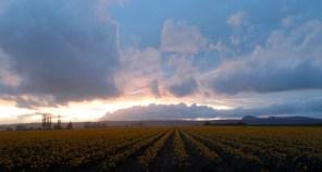 Sunset and Daffodils. Skagit County, WA. Photo by Karen Molenaar Terrell