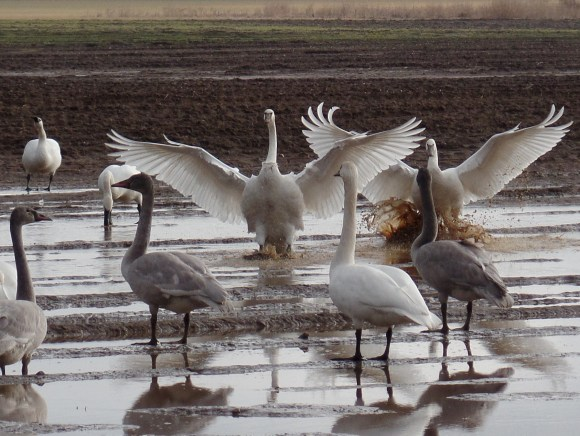 Trumpeter Swans in Bow, WA