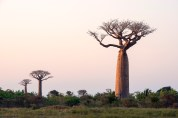 Baobabs three in a gorgeous light.