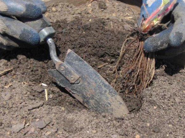 image3 | Как посадить и вырастить клубнику