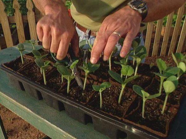 image3-3 | Как вырастить из семян рассаду кабачков и высадить в грунт