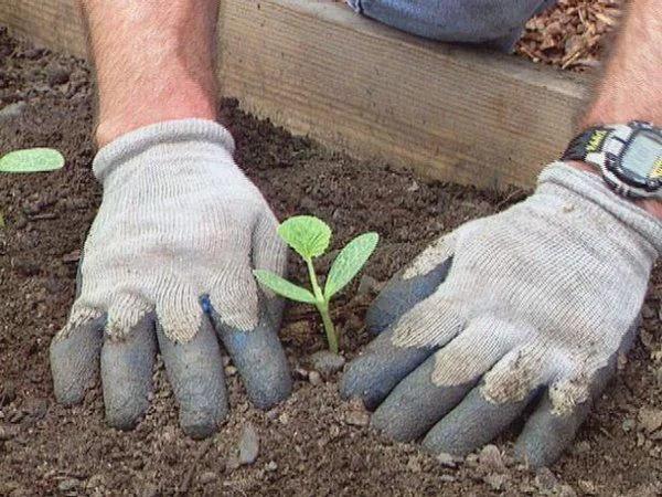 image5-2 | Как вырастить из семян рассаду кабачков и высадить в грунт