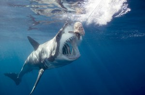 SCUBA dive with a Great White Shark My African Bucket List