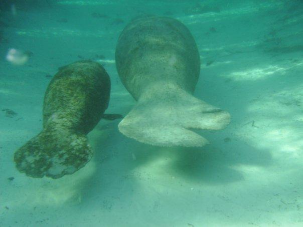 Snorkeling with Florida Manatees at Crystal River