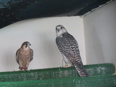 Discoving Falconry at the Abu Dhabi Falcon Hospital