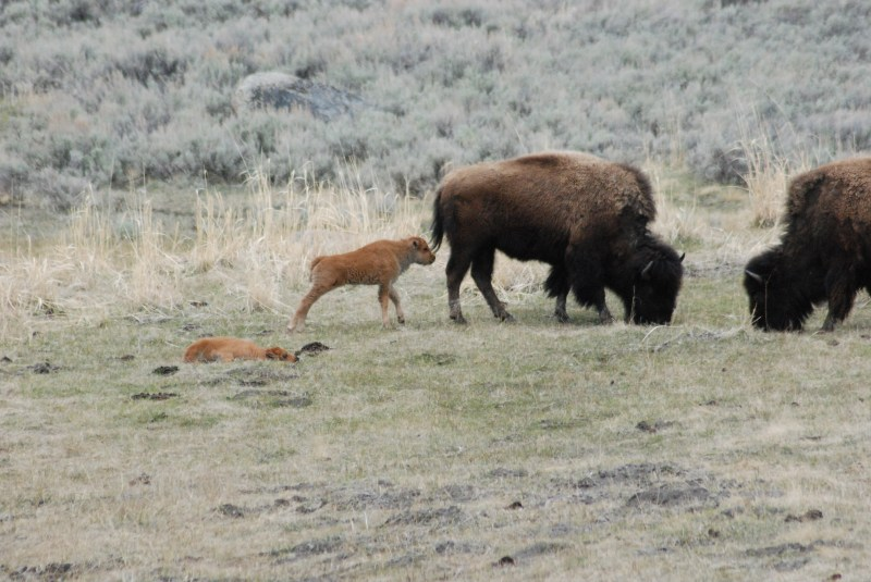 Spotlight Thursday – A Very Scary Bull Bison in Yellowstone National Park