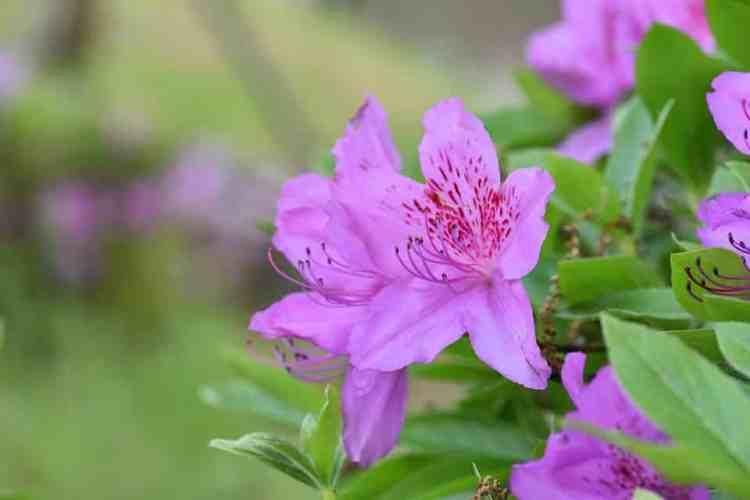Gambar Bunga Azalea