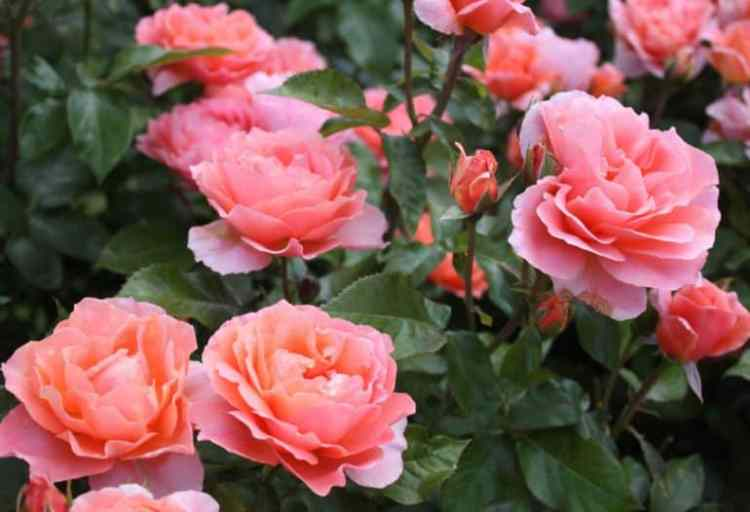 Gambar Bunga Mawar Merah Muda