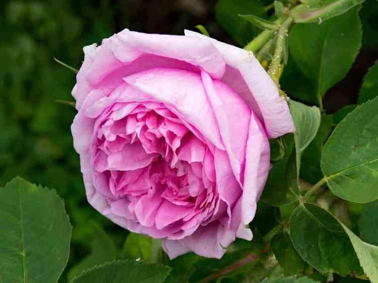 32 Gambar Bunga Dan Jenisnya Yang Cantik Beserta Penjelasannya