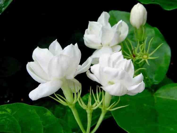 Gambar Bunga Melati