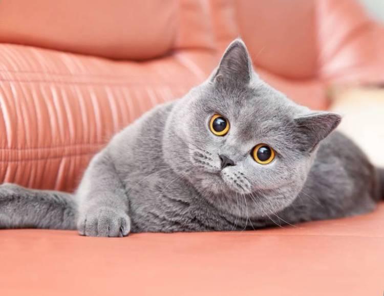 Jenis Kucing Britania