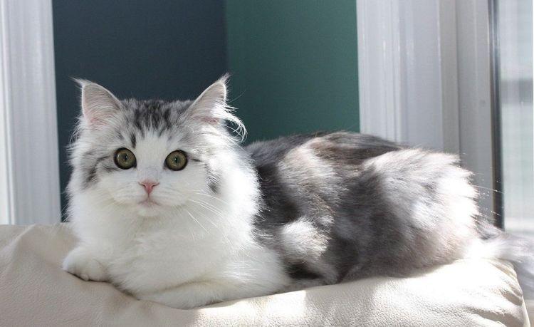 Jenis Kucing Ragamuffin