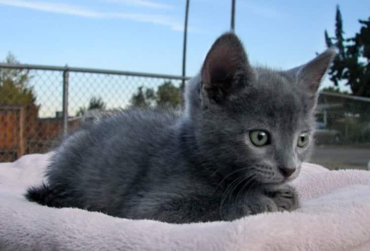 Jenis Kucing Russian Blue