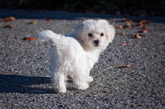 Perawatan Anak Anjing Maltase