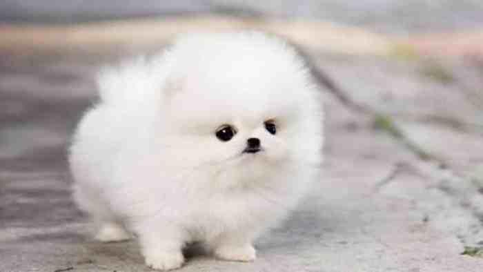 15++ Anak anjing mini pom putih terbaru