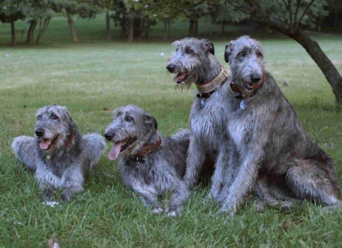 Anjing Irish Wolfhound