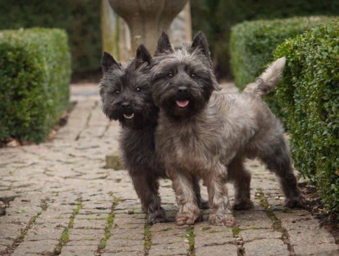 Anjing Terrier Rusa Hitam