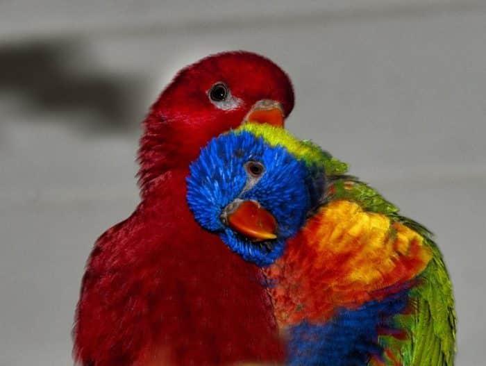Cara Mengawinkan Burung Beo