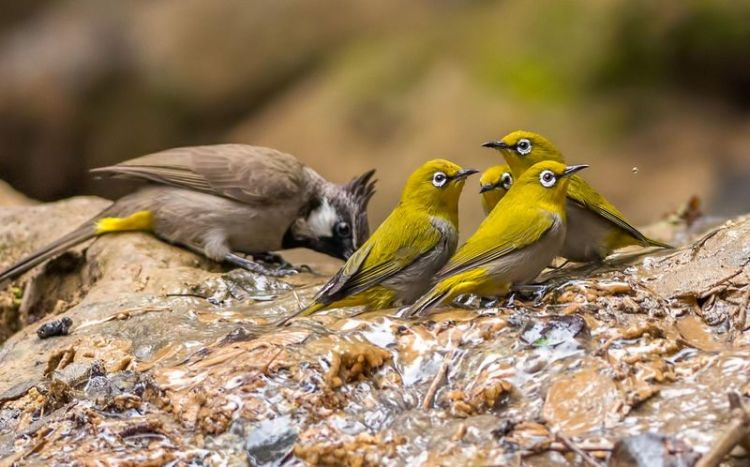 Cara Merawat Burung Pleci Anakan