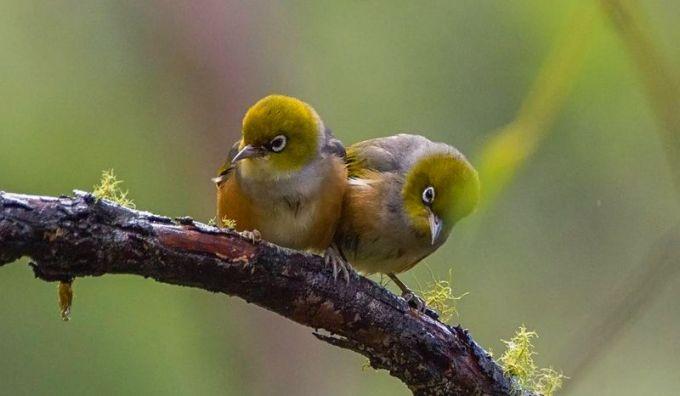 Ciri yang Dimiliki Burung Pleci Betina