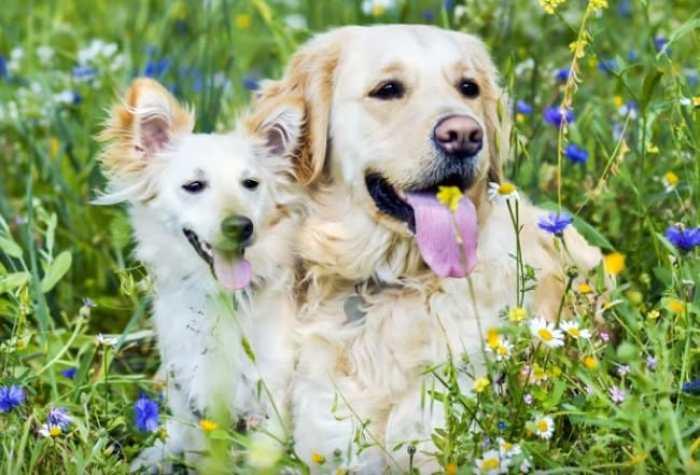 Kelebihan yang Dimiliki Anjing Golden