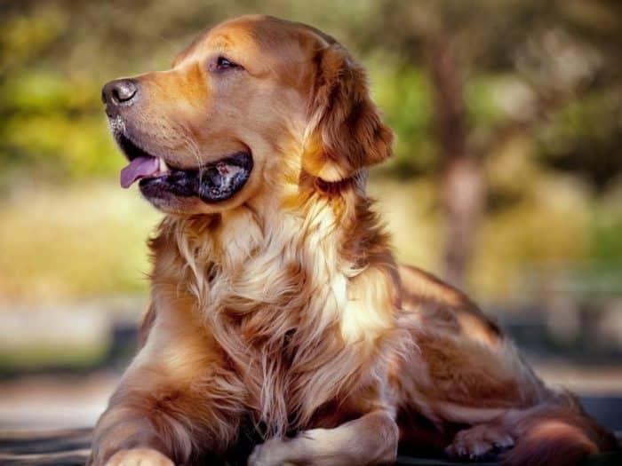 Langkah-langkah untuk Mengawinkan Anjing Golden