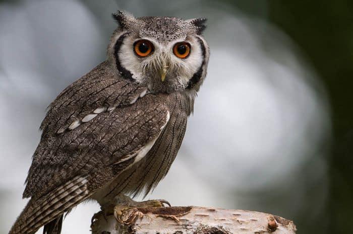 Burung Hantu Sejarah Mitos Fakta Ciri Ciri Jenis Dan Cara