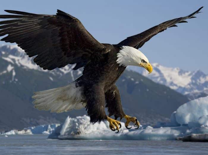 49+ Burung elang gambar hewan karnivora terbaru