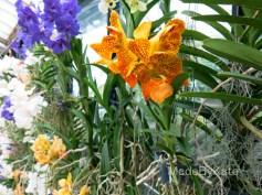 orchid kew gardens