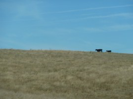 Some lonely cows on the way to Potosi