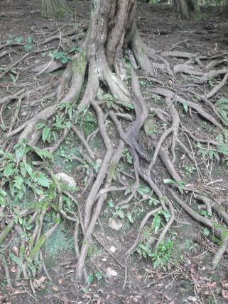 Funky tree roots.