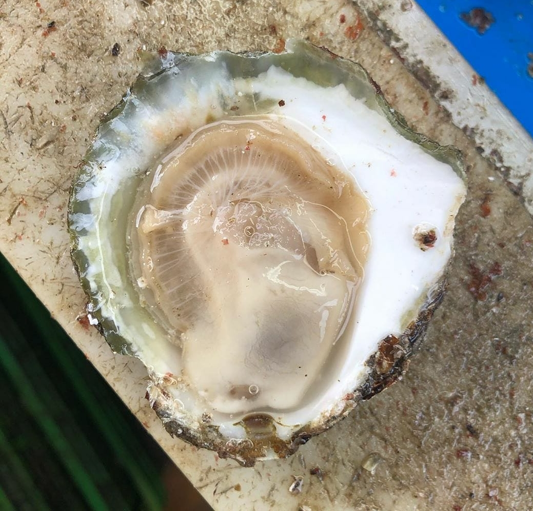 A beatiful oyster grown by my families oyster company H.Bol & Zn. BV.
