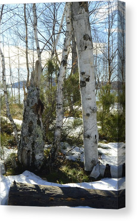 Winter Birch Canvas Print
