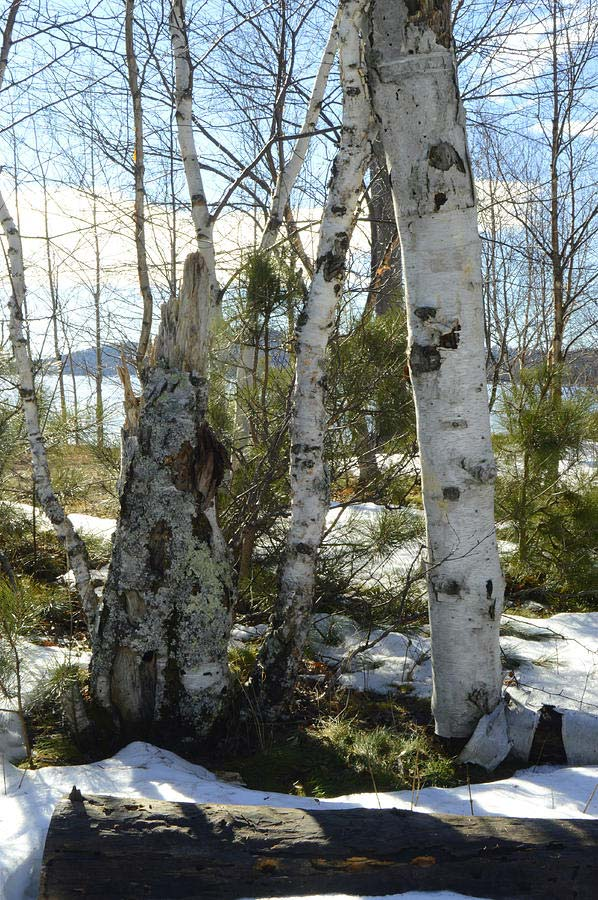 Winter Birch Wall Art