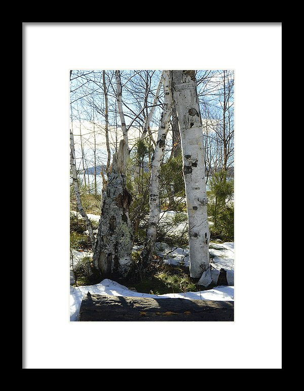 Winter Birch Print
