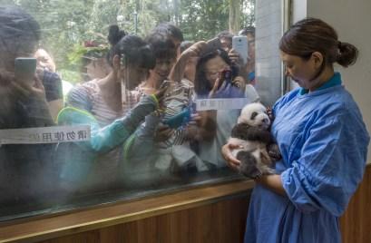 Ami Vitale pour National Géographic Magazine et World Press Photo - Nature second prix - Li Feng, une des employées de la réserve de Bifendxia, pose avec un des rares pandas nés ne captivité